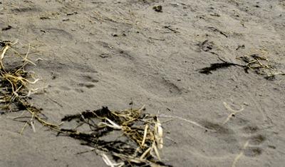 Black Bear AND Bare Human Tracks